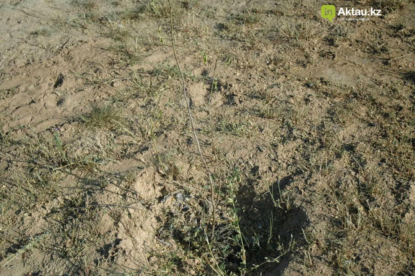 Погибшие от засухи и обезвоживания в Актау исчисляются десятками (ФОТО), фото-7