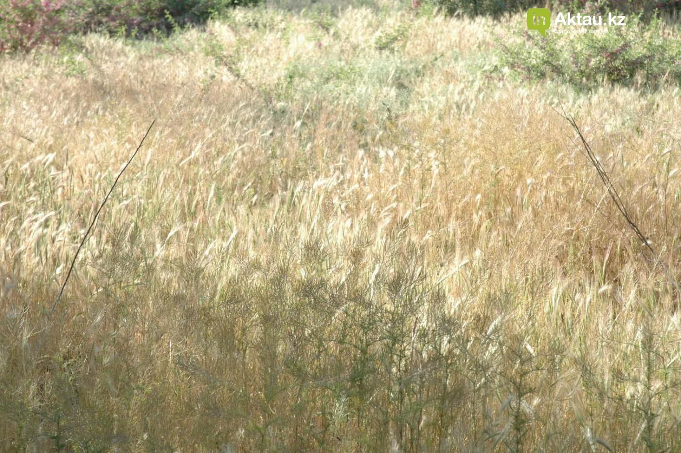 Погибшие от засухи и обезвоживания в Актау исчисляются десятками (ФОТО), фото-44