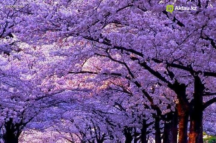 В Актау высадили 1000 саженцев императорского дерева, фото-1