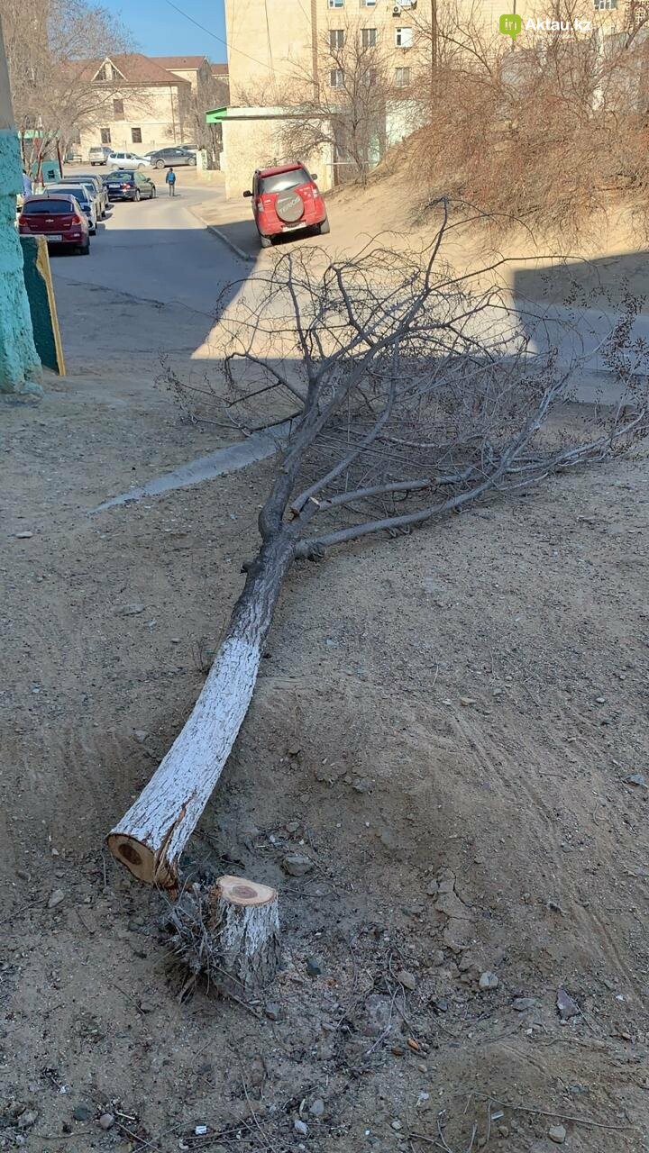 Жильцы 15 микрорайона Актау пожаловались на спиливание деревьев (ВИДЕО), фото-1