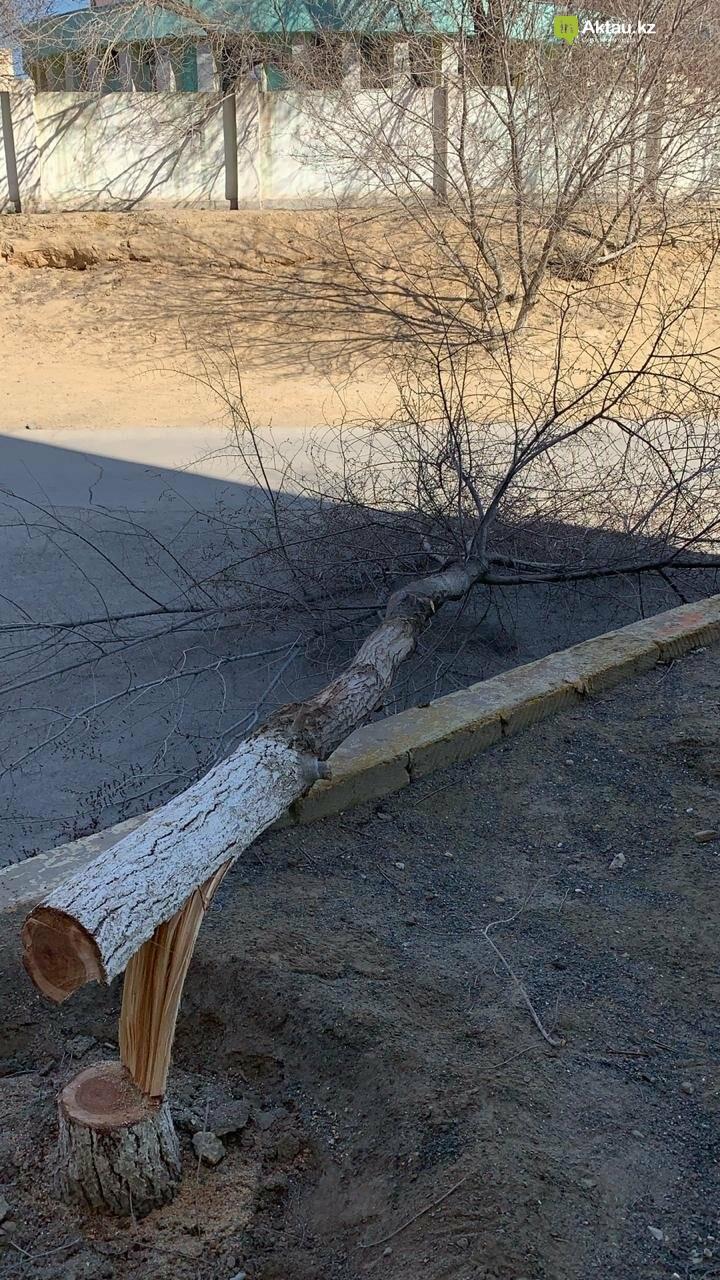 Жильцы 15 микрорайона Актау пожаловались на спиливание деревьев (ВИДЕО), фото-7