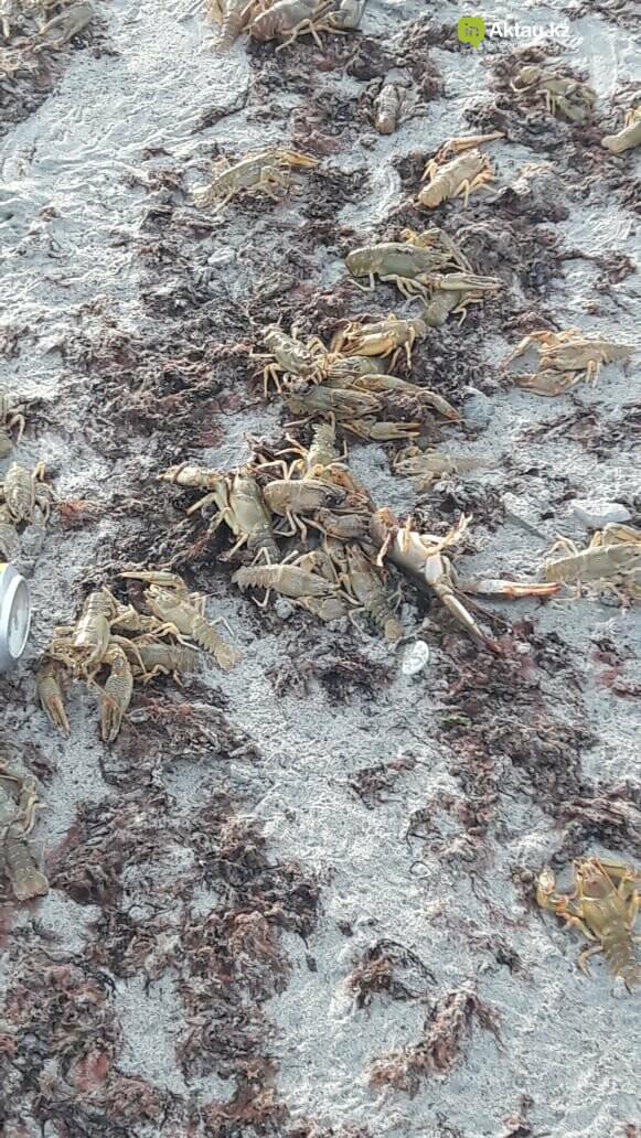Сотни раков выбросило на берег Каспия (ВИДЕО), фото-4