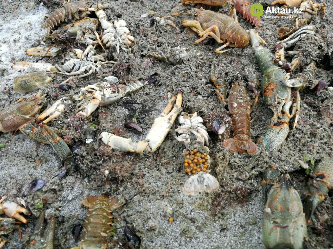 Мертвую рыбу и раков выбросило на побережье Актау (ВИДЕО), фото-9