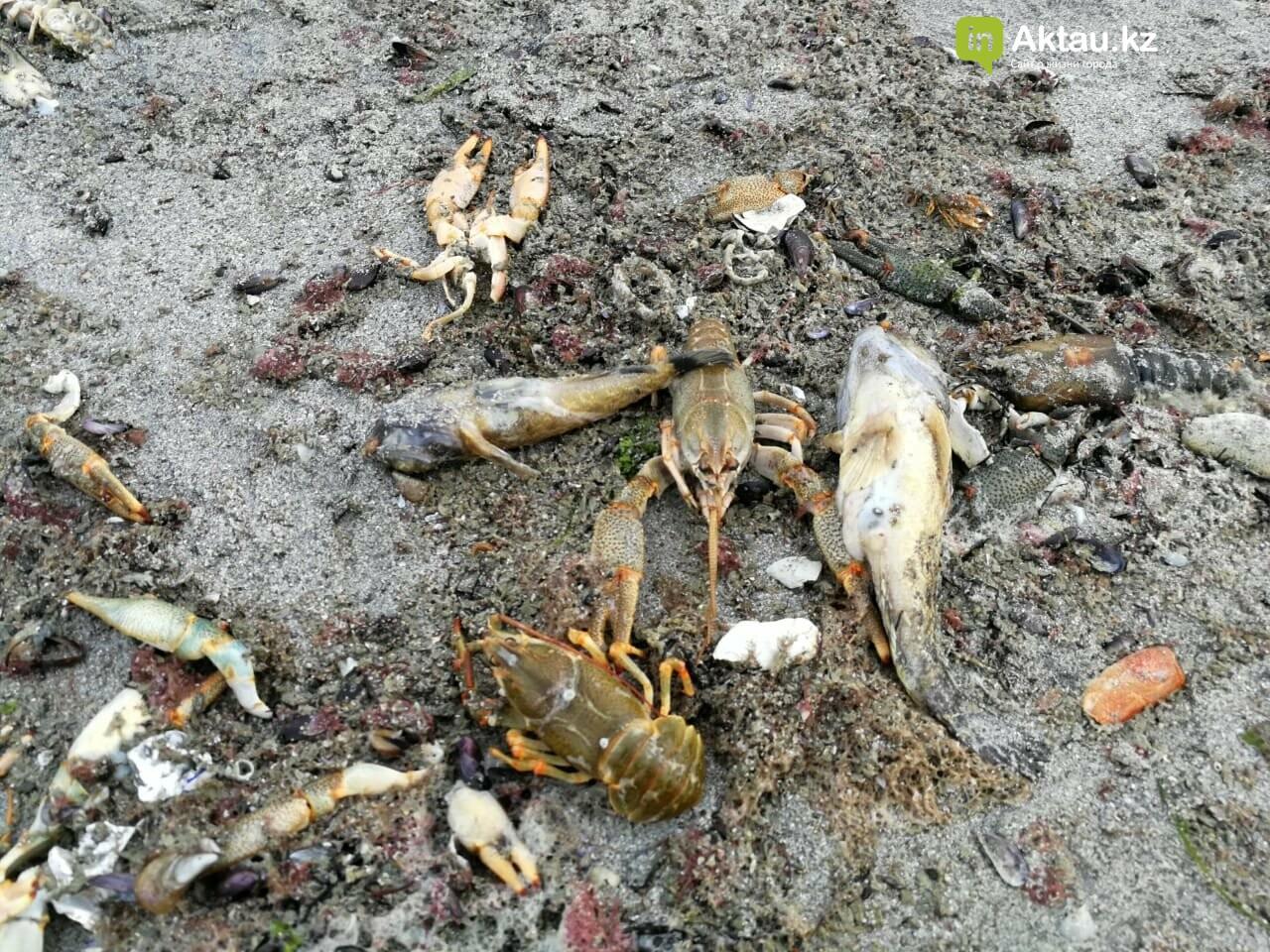 Мертвую рыбу и раков выбросило на побережье Актау (ВИДЕО), фото-7