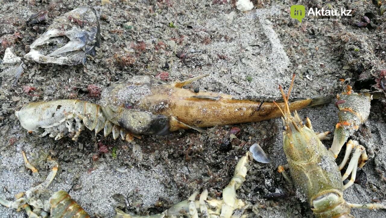 Мертвую рыбу и раков выбросило на побережье Актау (ВИДЕО), фото-1