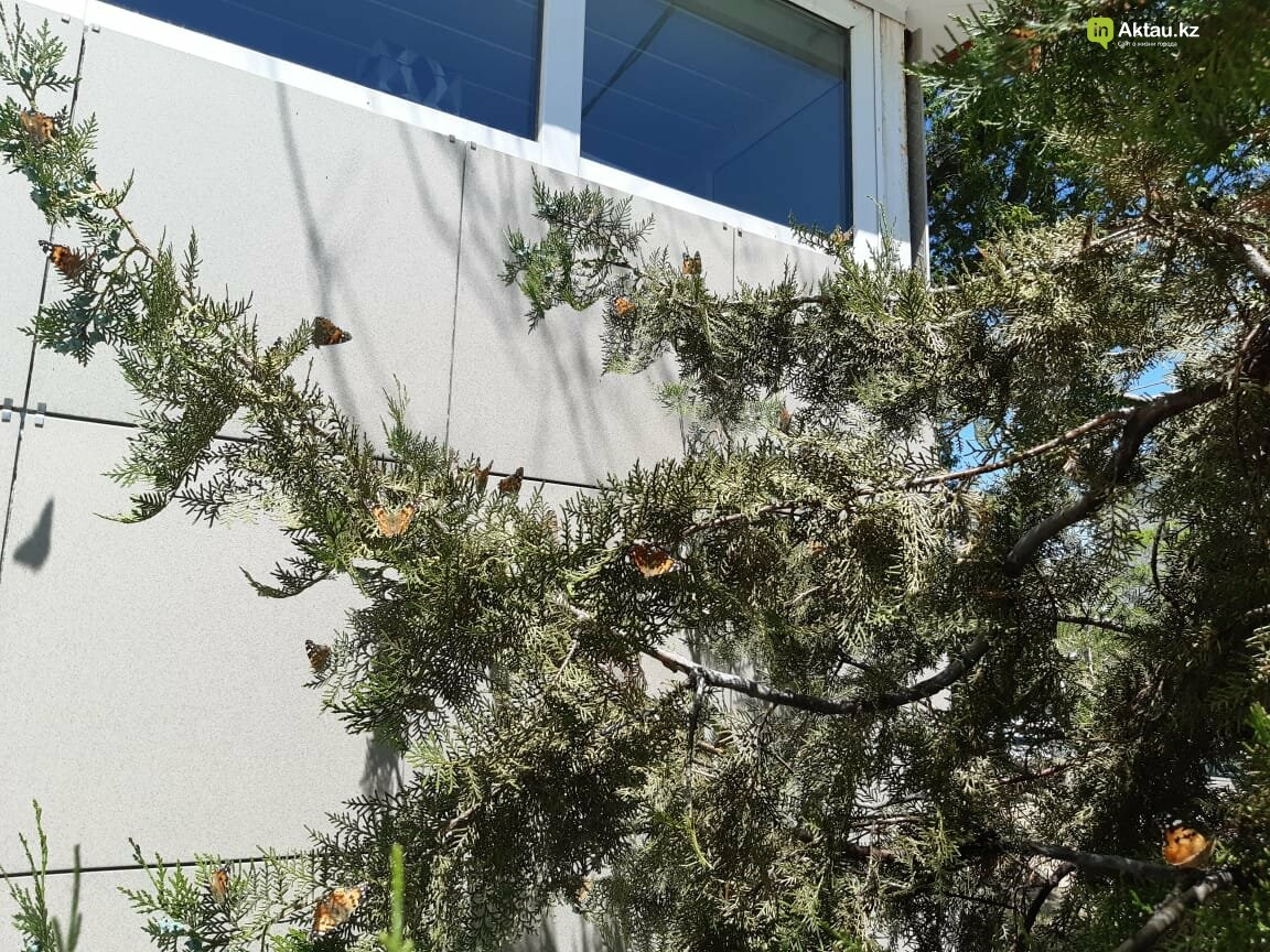 Бабочки заполонили Актау , фото-3