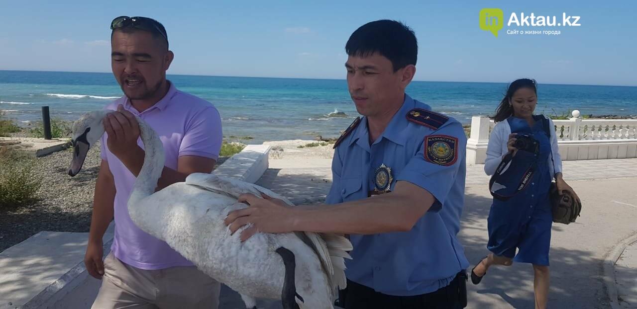 Полицейские спасли одинокого лебедя в Актау, фото-2