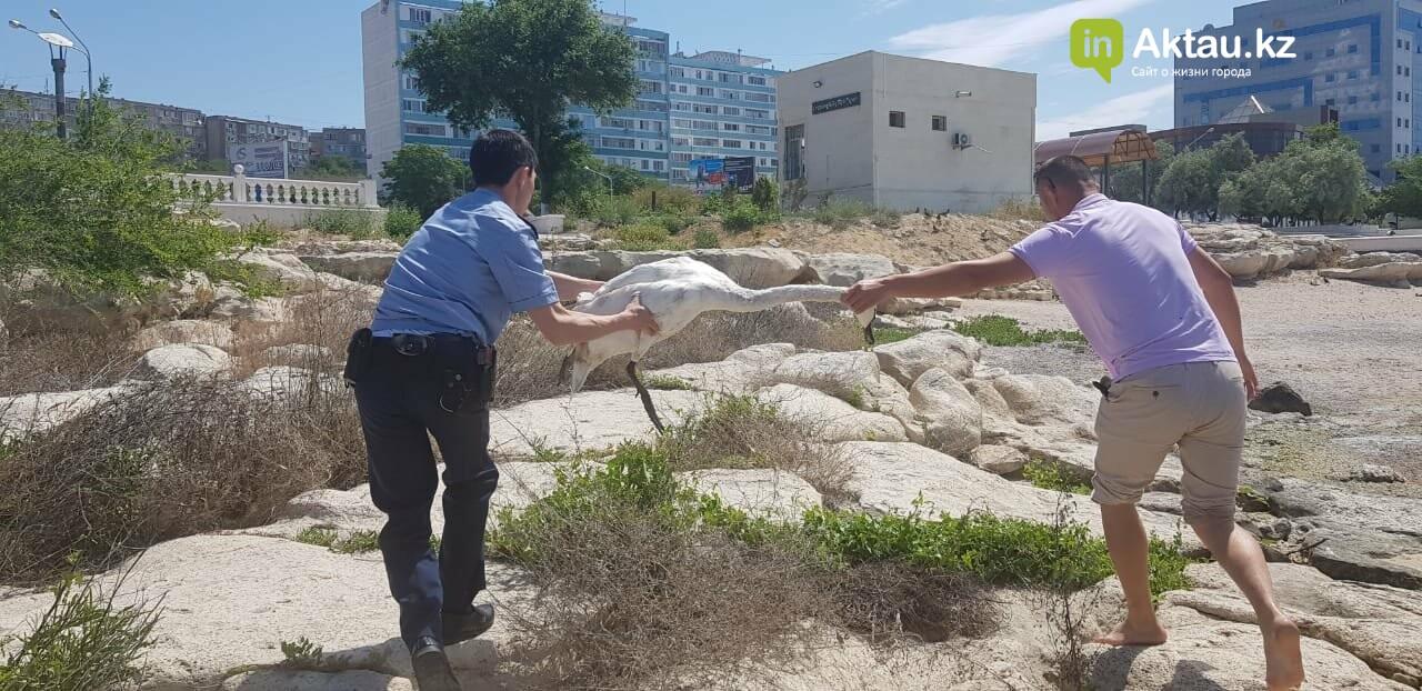 Полицейские спасли одинокого лебедя в Актау, фото-3
