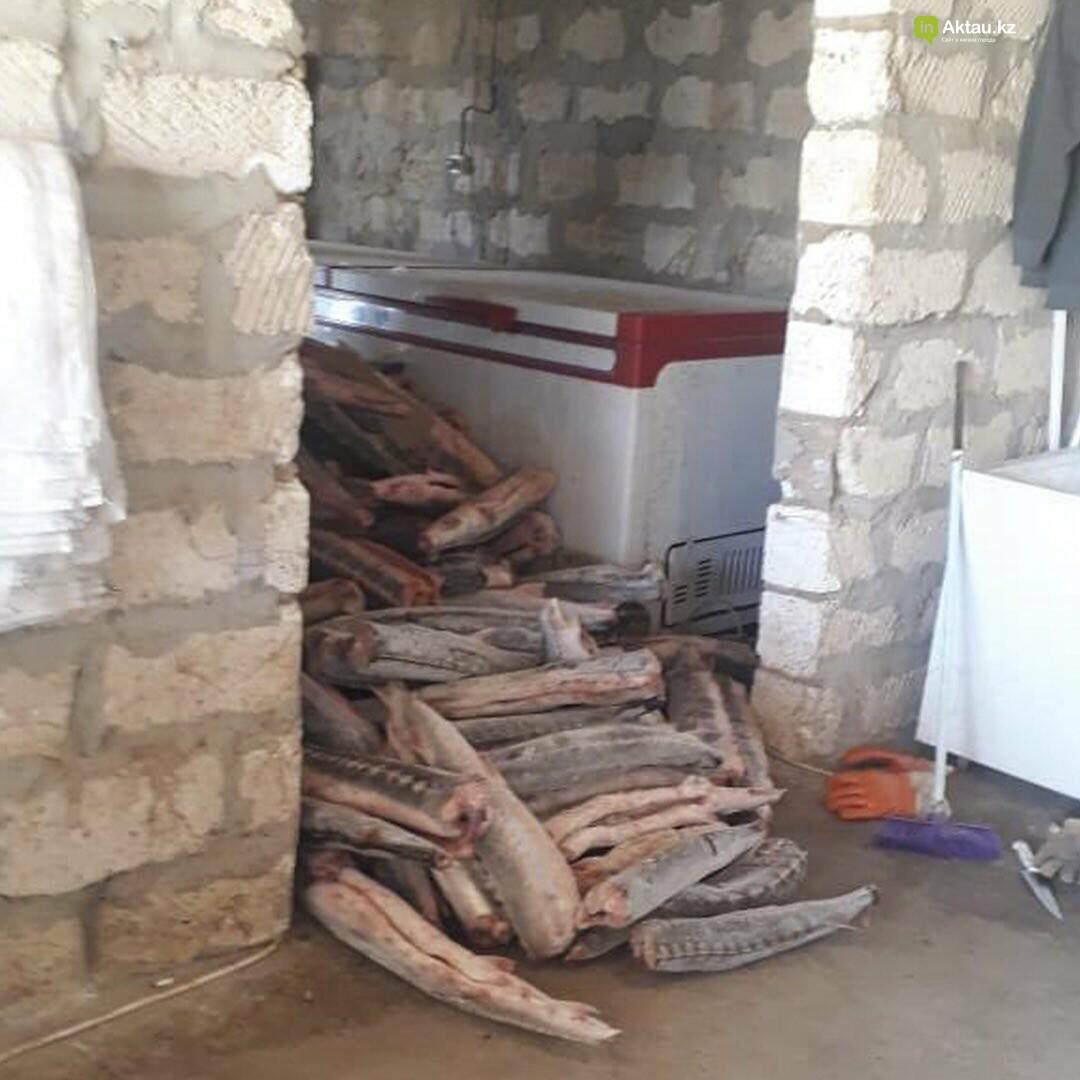 Три тонны осетра обнаружили у браконьеров в Мангистау, фото-1