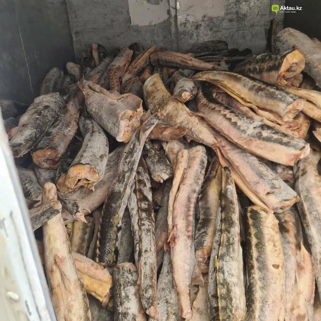 Три тонны осетра обнаружили у браконьеров в Мангистау, фото-3