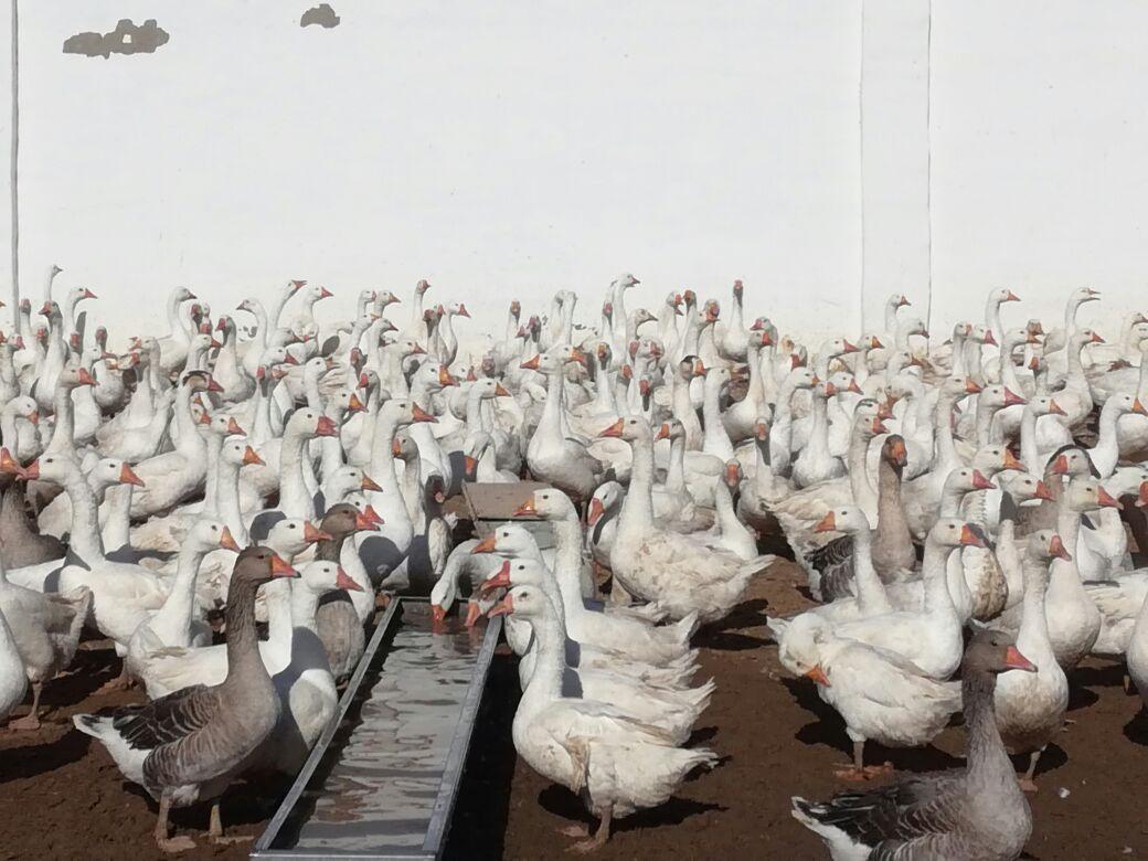 Мангистауский фермер будет кормить туристов страусиными яйцами (Видео), фото-3