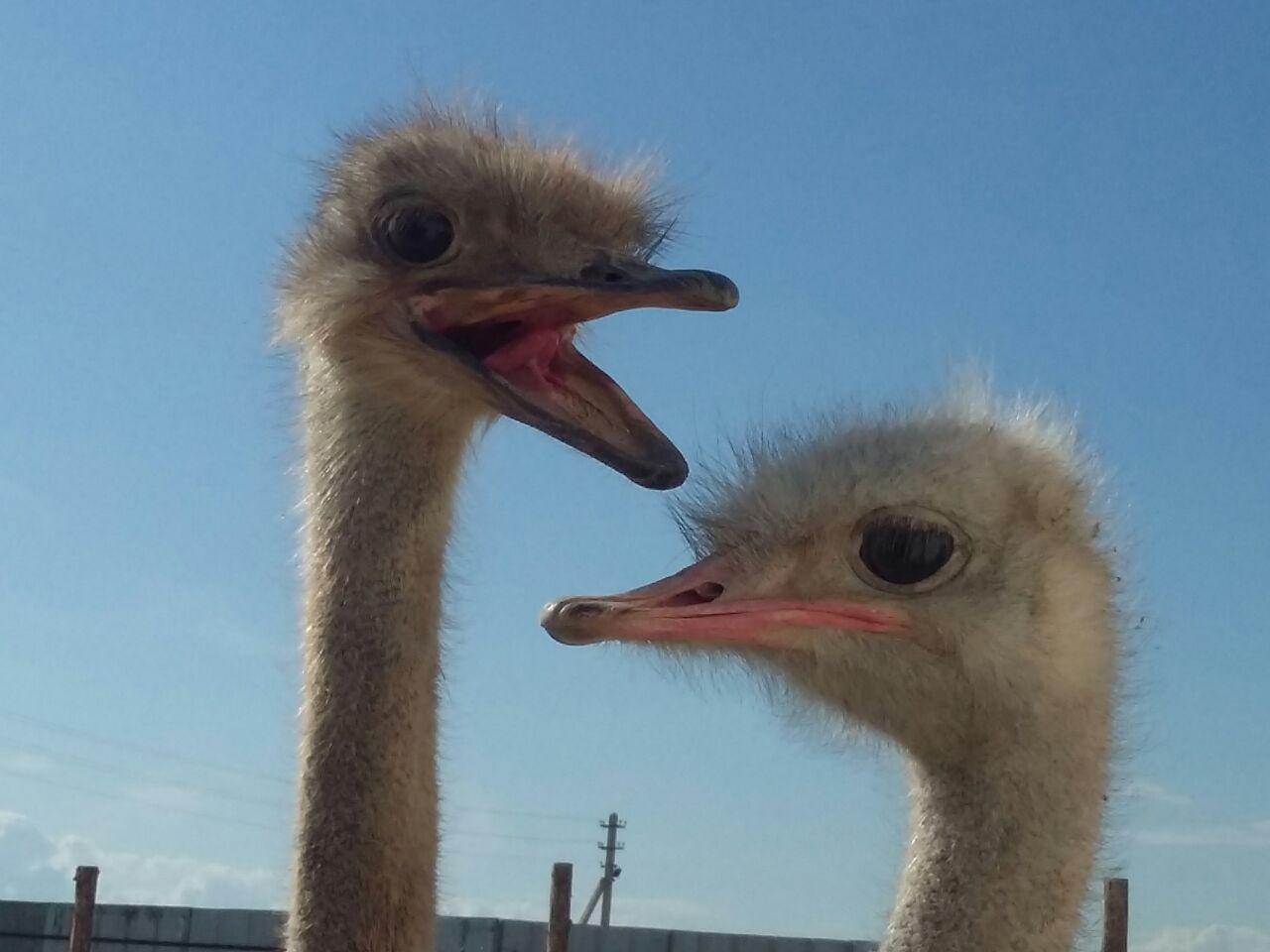Мангистауский фермер будет кормить туристов страусиными яйцами (Видео), фото-6