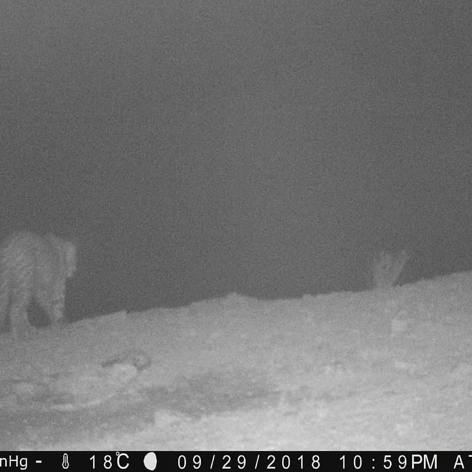 Леопард попал в объектив фотоловушки на Устюртском заповеднике (ФОТО), фото-2