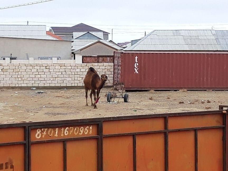 Владельца верблюда оштрафовали за порчу деревьев в Мунайлинском районе, фото-1