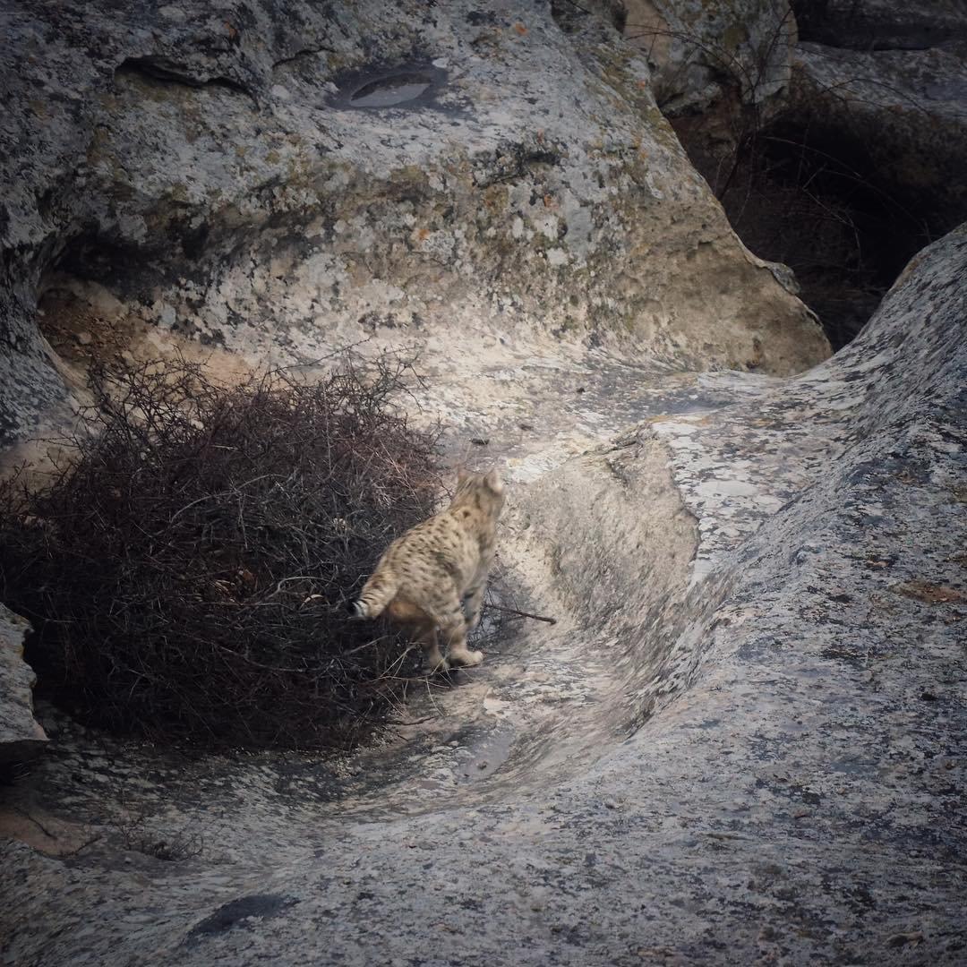 Дикая кошка попала на видео в Мангистау, фото-3