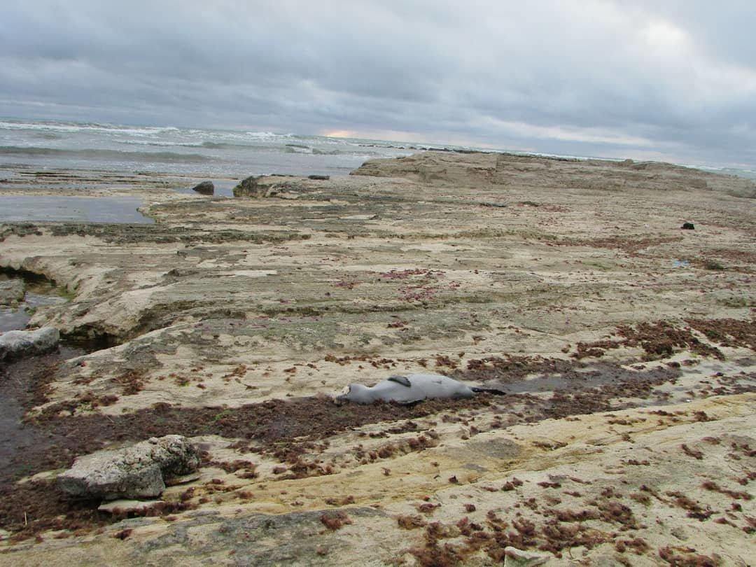 Еще одного мертвого тюленя обнаружили жители Актау, фото-3