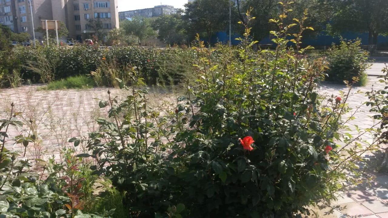 Миллионные тендера на озеленение: Актау снова порос сорняком, фото-2