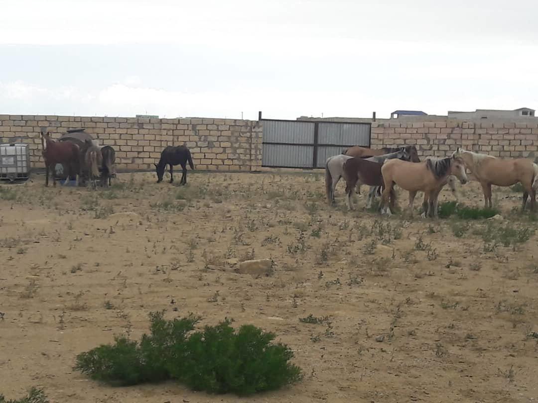 Ели зелень: в Актау оштрафовали хозяина лошадей, фото-4