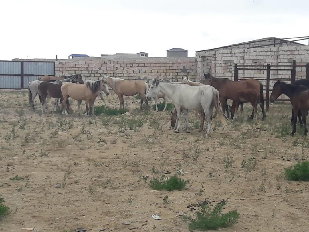 Ели зелень: в Актау оштрафовали хозяина лошадей, фото-2