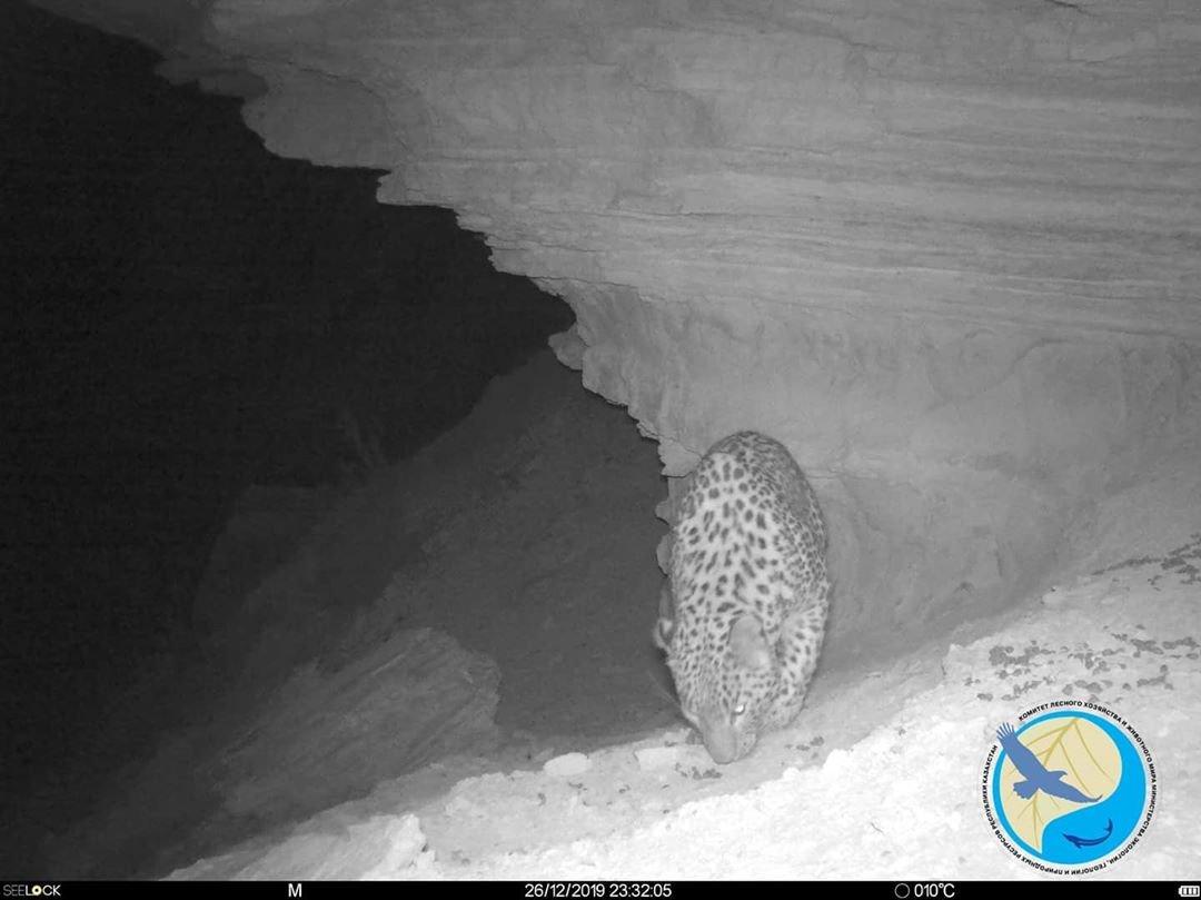 Леопарда запечатлели фотоловушки в Устюрте , фото-1