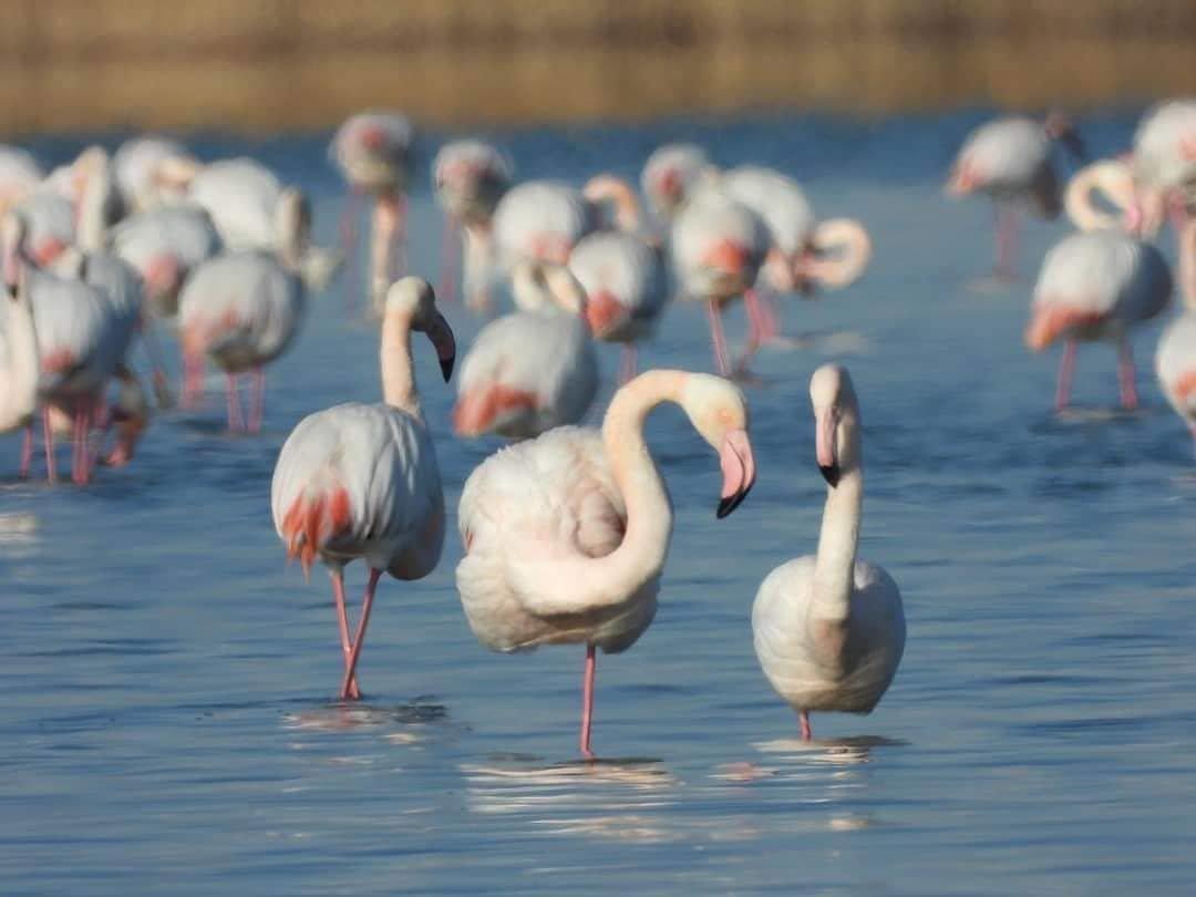 Более тысячи фламинго прилетели в Мангистау (ФОТО), фото-4