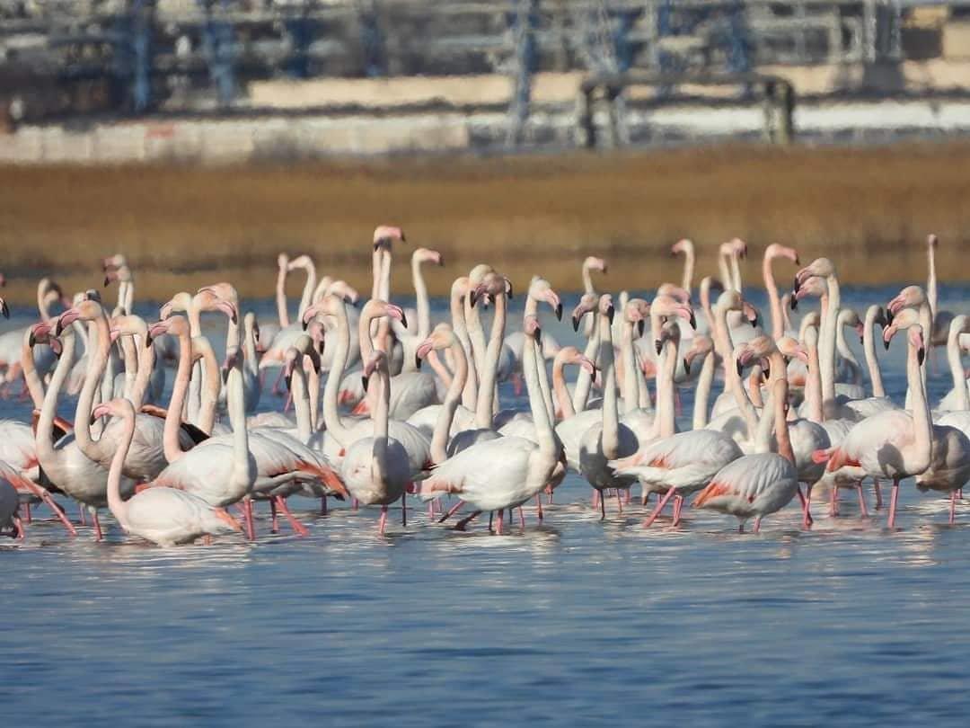 Более тысячи фламинго прилетели в Мангистау (ФОТО), фото-1