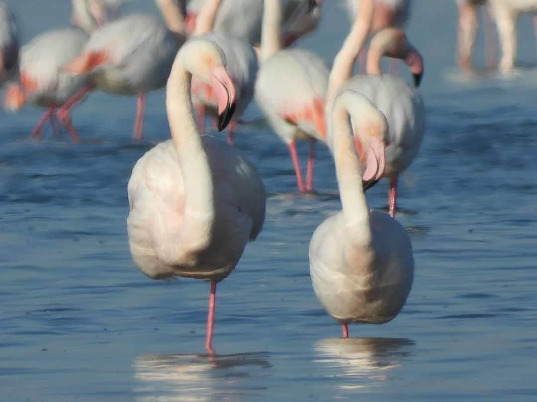 Более тысячи фламинго прилетели в Мангистау (ФОТО), фото-2