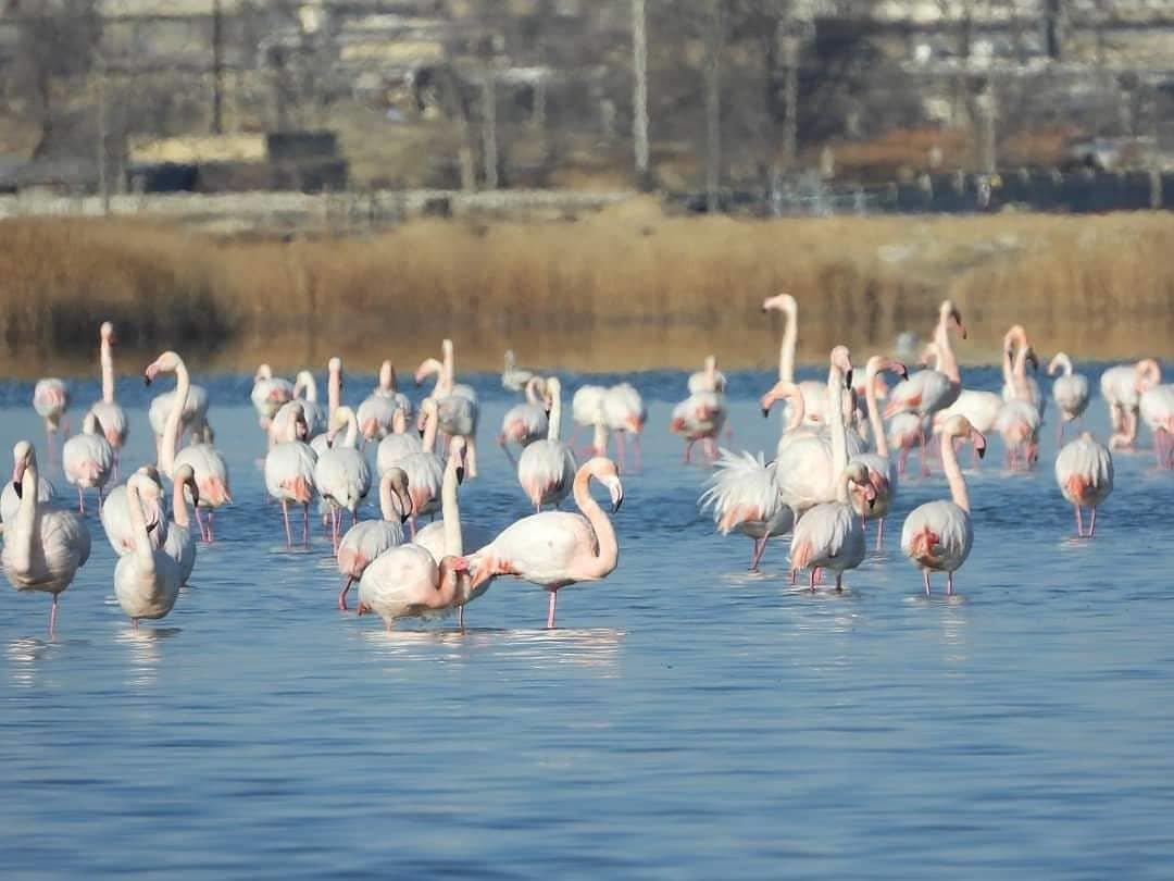 Более тысячи фламинго прилетели в Мангистау (ФОТО), фото-5