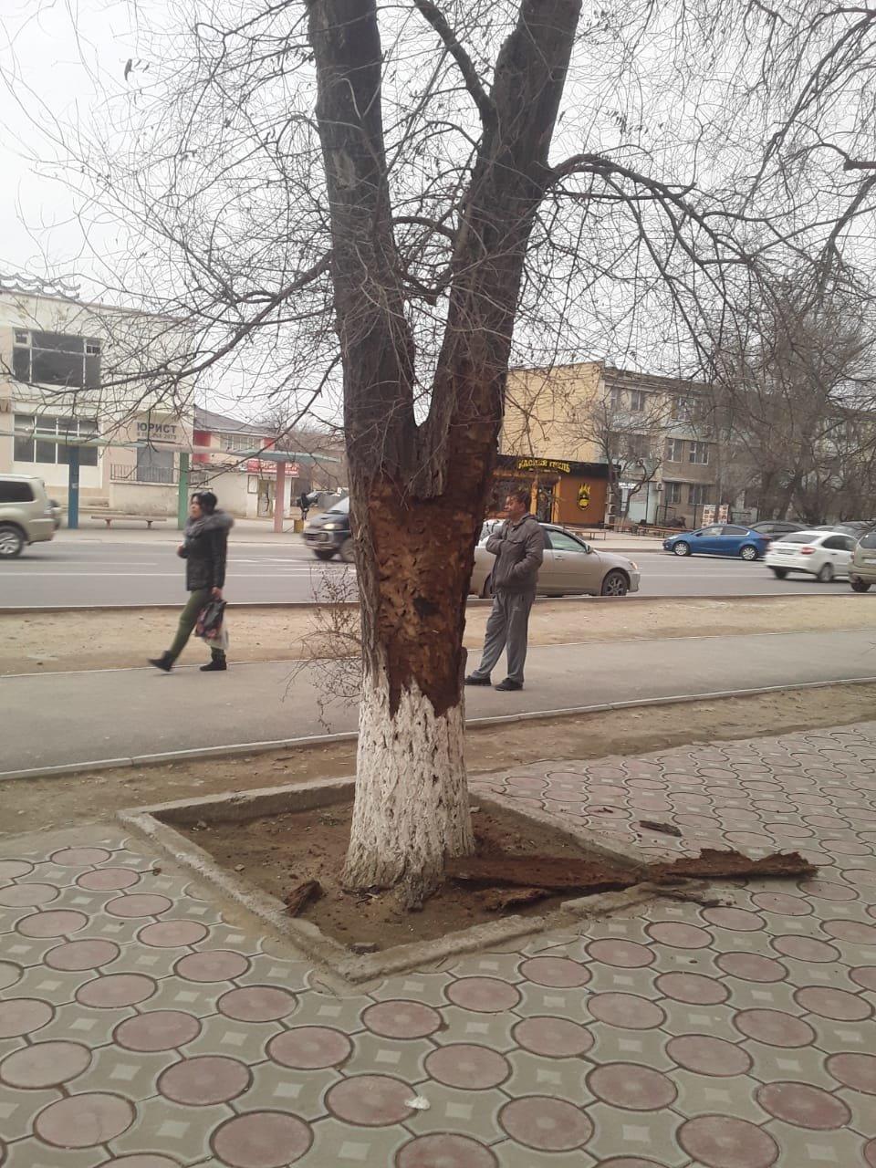 Жительница Актау пожаловалась на несвоевременную подготовку деревьев к весне, фото-2