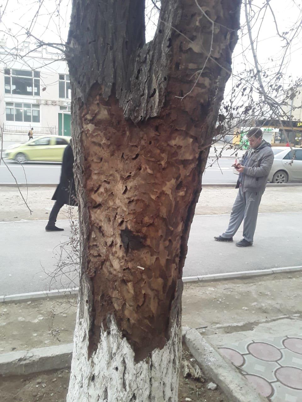 Жительница Актау пожаловалась на несвоевременную подготовку деревьев к весне, фото-1