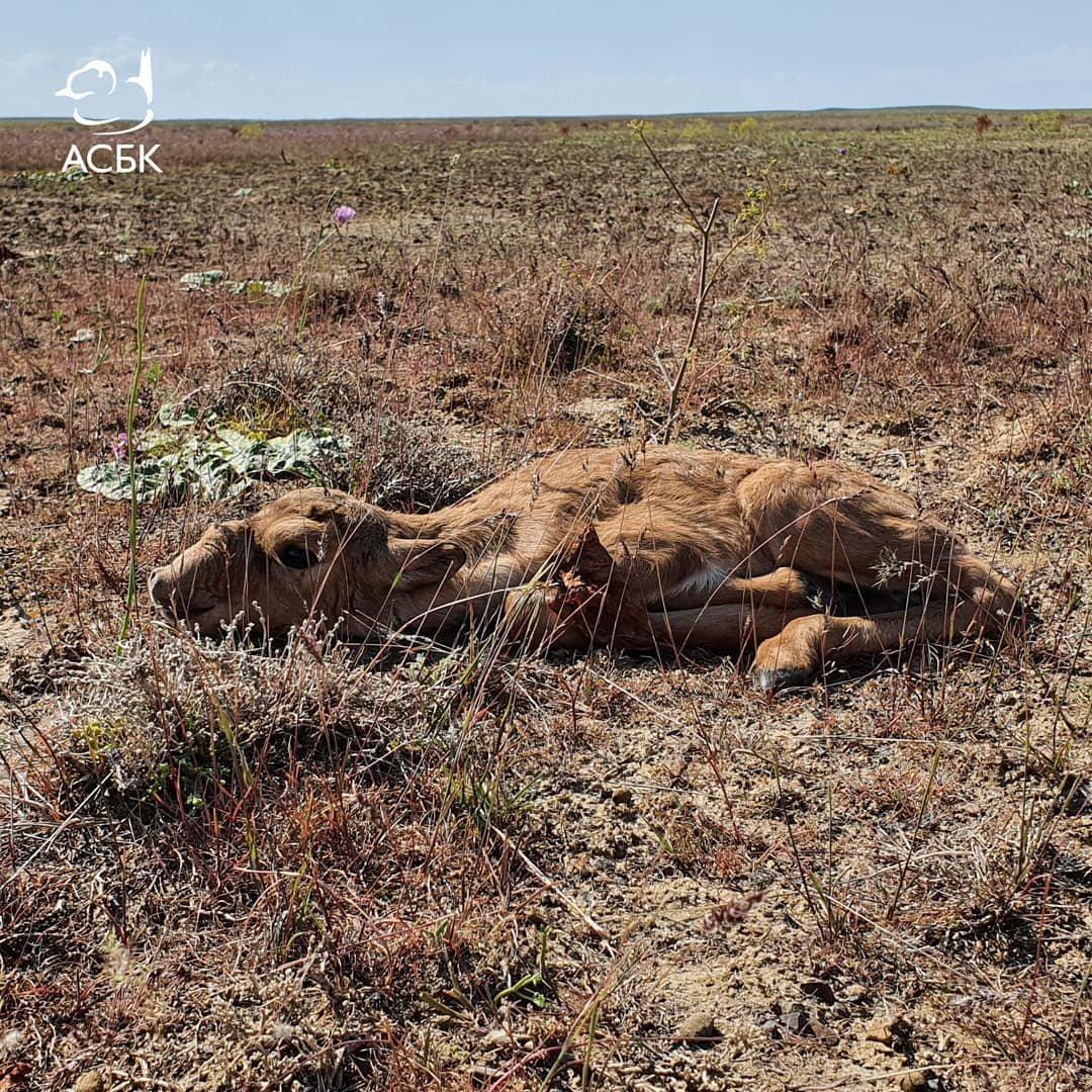 На Устюрте обнаружено место массового окота сайгаков, фото-1