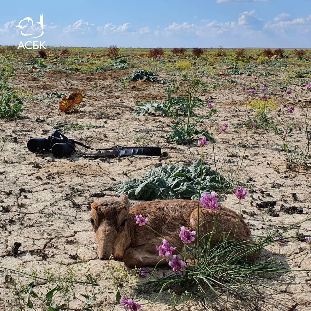 На Устюрте обнаружено место массового окота сайгаков, фото-2