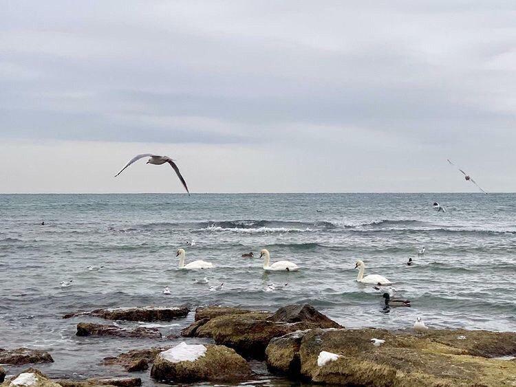 Лебеди в Актау
