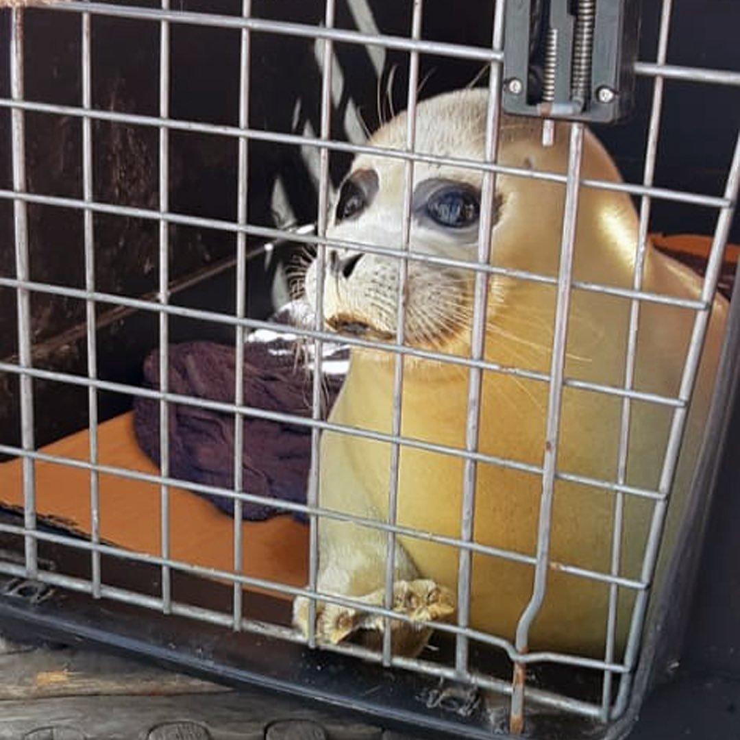 Спасенный тюлень